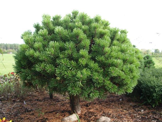Pinus mugo 'Valenta'