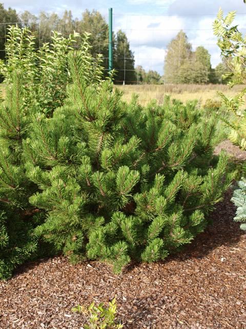 Pinus mugo 'Yaffle Hill'