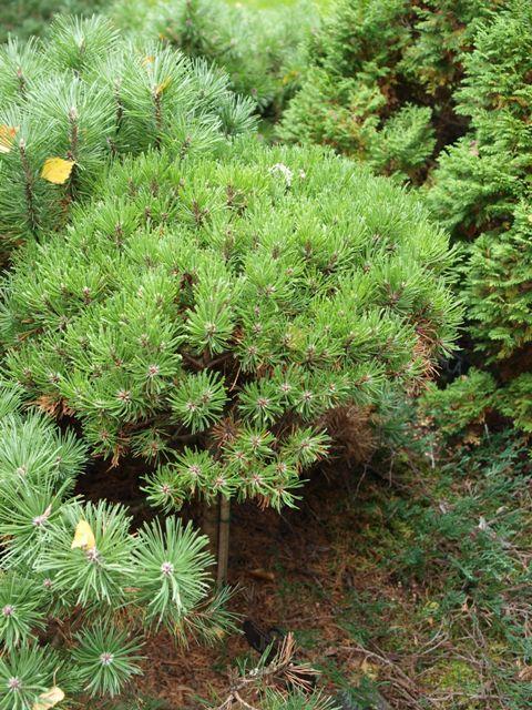 Pinus mugo 'Ježek'