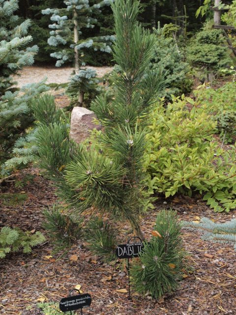 Pinus nigra 'Dablice'