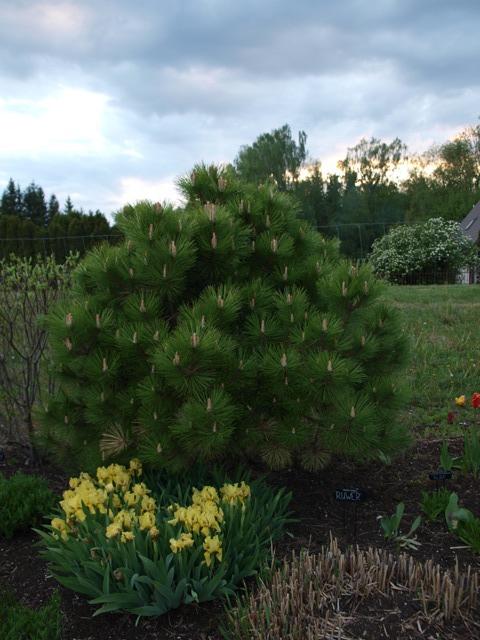 Pinus nigra 'Ruwer'