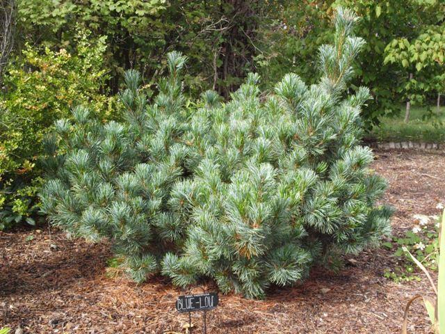 Pinus parviflora 'Blue Lou'