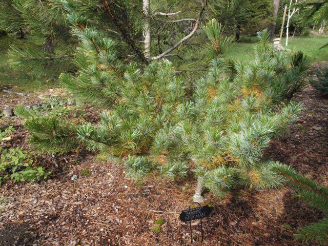 Pinus parviflora 'Bonnie Bergman'