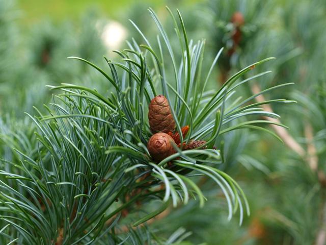 Pinus parviflora 'Fuku-zu-mi'