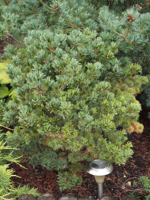Pinus parviflora 'Beran(Goldshmied)'