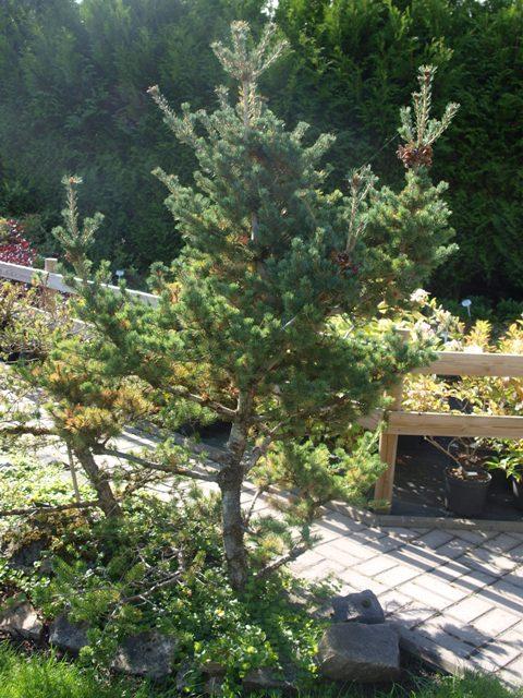 Pinus parviflora 'Koko-no-e'