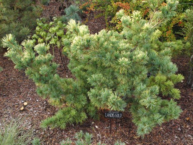 Pinus parviflora 'Dr. Landis Gold'