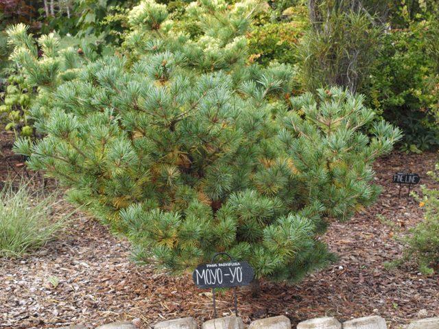 Pinus parviflora 'Moyo-yo'