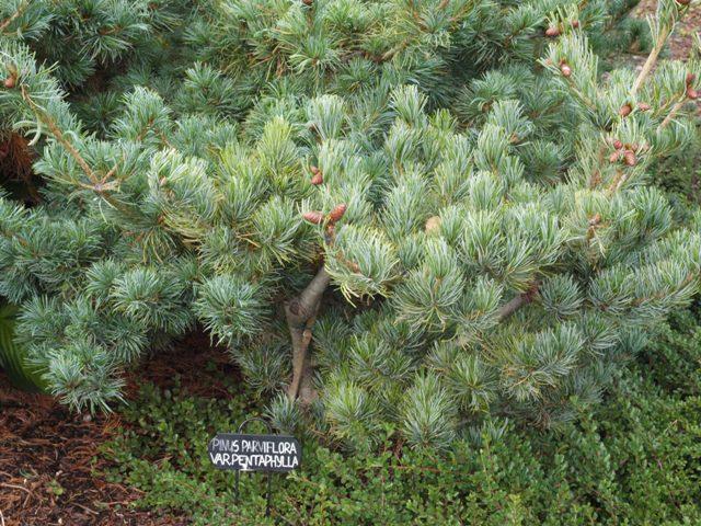 Pinus parviflora 'var. pentaphylla'