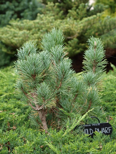 Pinus peuce 'Arnold Dwarf'