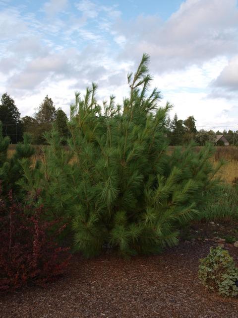 Pinus peuce 'Wageningen'