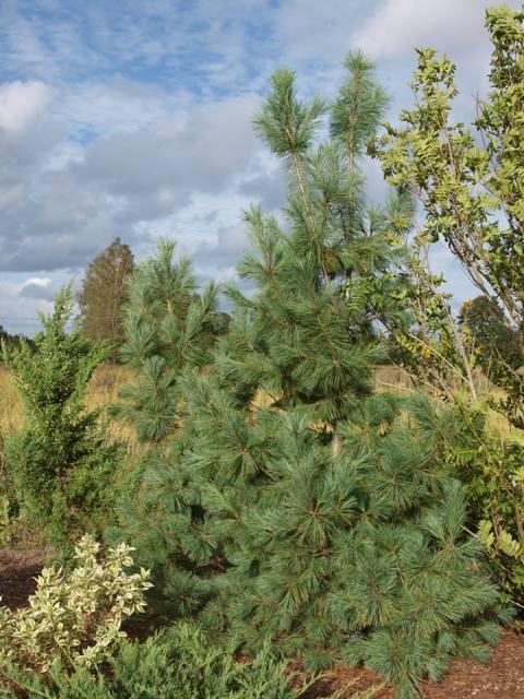 Pinus peuce 'Wilhelm Acker Fructata'