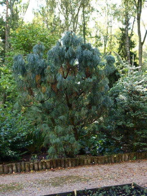 Pinus pumila 'Barmstedt'
