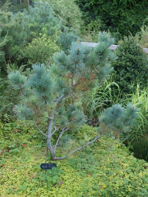 Pinus pumila 'Blue Mops'