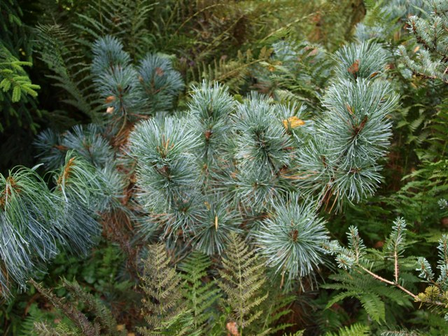 Pinus pumila 'Forster'