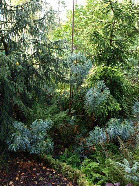 Pinus pumila 'Hannover Munden'