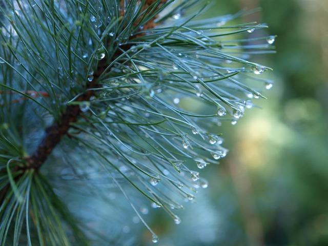 Pinus pumila 'Jeddeloh'