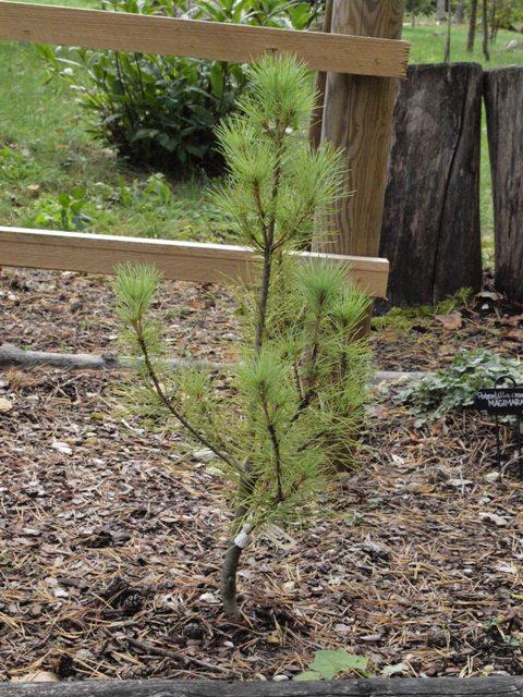 Pinus strobus 'Fastigiata Devine'