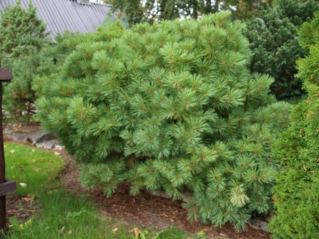 Pinus strobus 'Horsford'