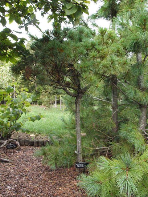 Pinus strobus 'Mary Butler'