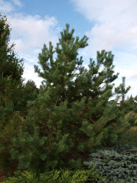 Pinus sylvestris 'Candlelight'
