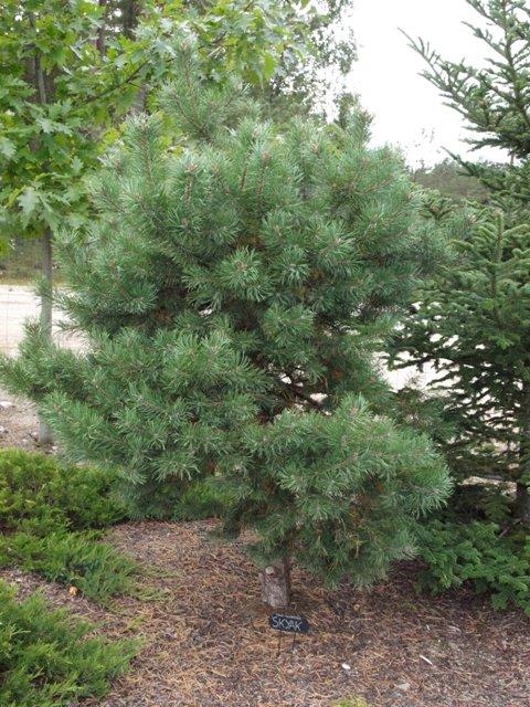 Pinus sylvestris 'Skjak'