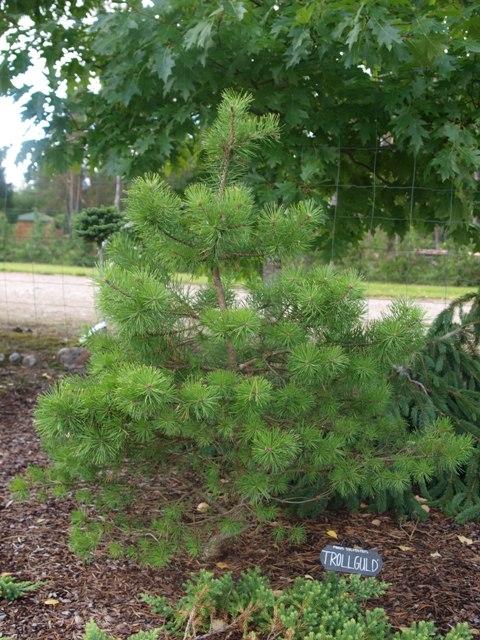 Pinus sylvestris 'Trollguld'