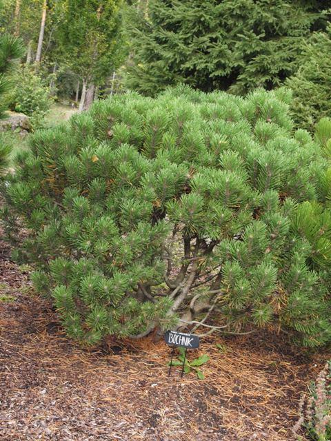 Pinus uncinata 'Bochnik'