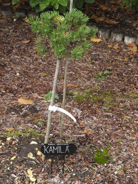 Pinus uncinata 'Kamila'