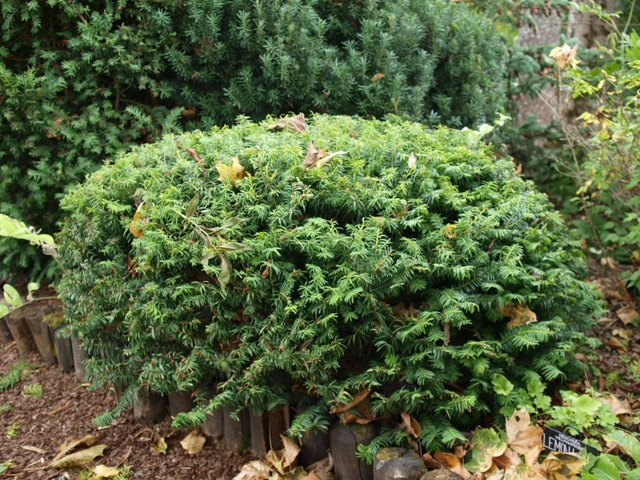 Taxus baccata 'Corleys Coppertip'