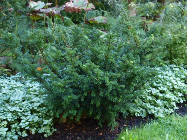 Taxus canadensis 'Stricta'