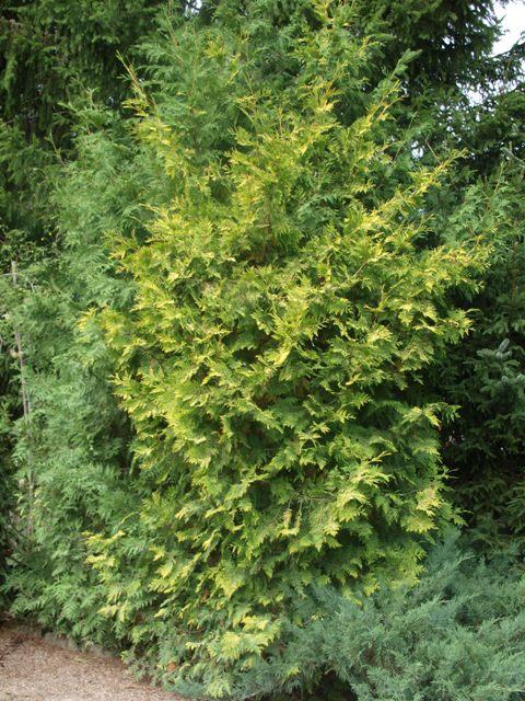Thuja occidentalis 'Aurea Kordusii'