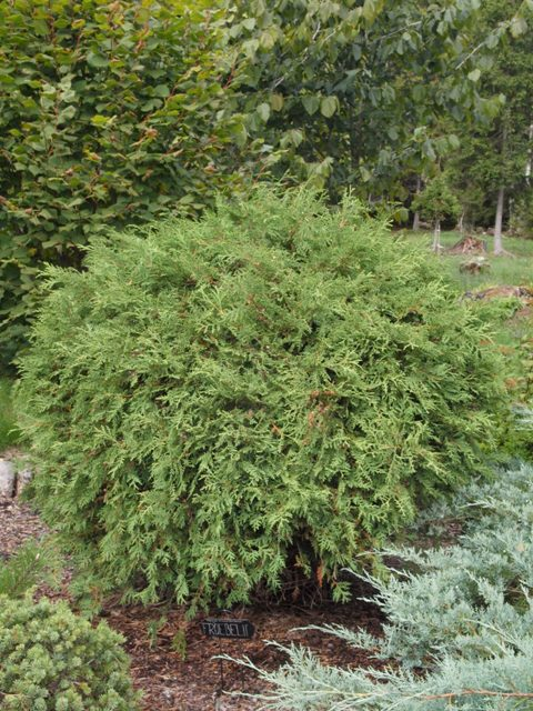 Thuja occidentalis 'Froebelii'