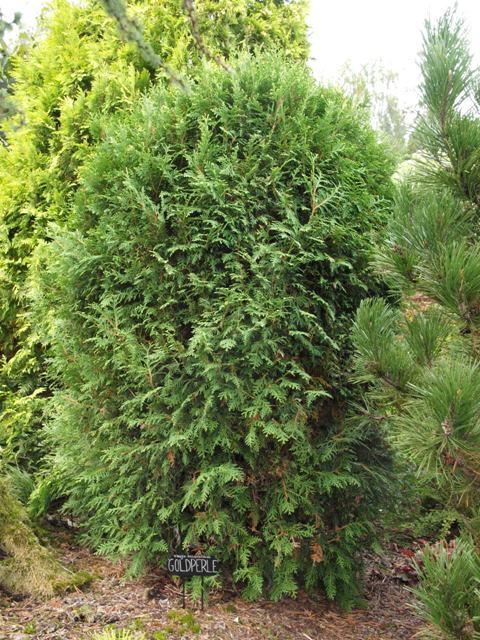 Thuja occidentalis 'Goldperle'