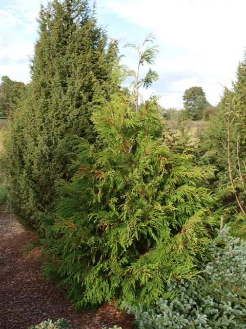Thuja occidentalis 'Indomitable'
