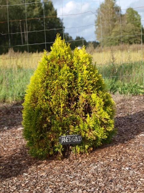 Thuja occidentalis 'Janed (Golden Smaragd)®'