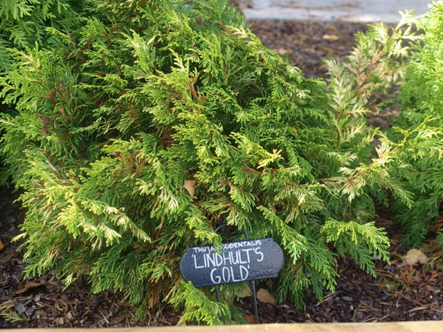 Thuja occidentalis 'Lindhults Gold'