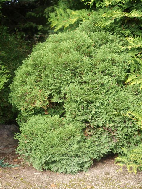 Thuja occidentalis 'Little Dorrit'