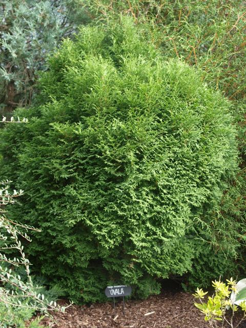 Thuja occidentalis 'Ovala'