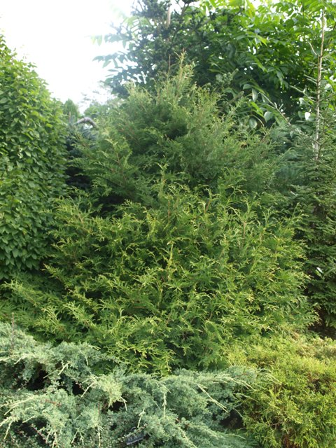 Thuja occidentalis 'Rain Pearl'