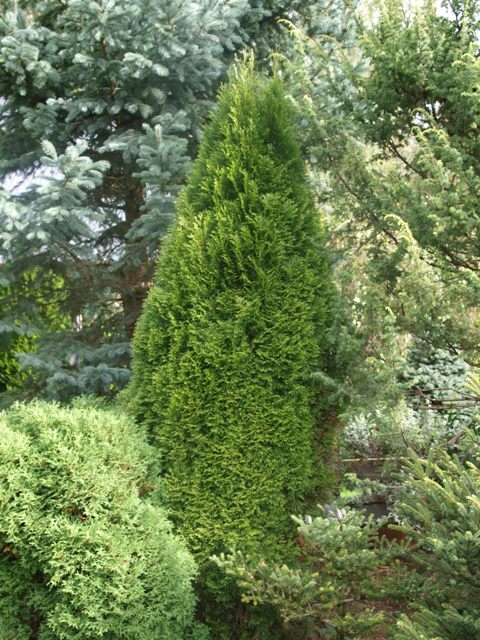 Thuja occidentalis 'Smaragd Light'