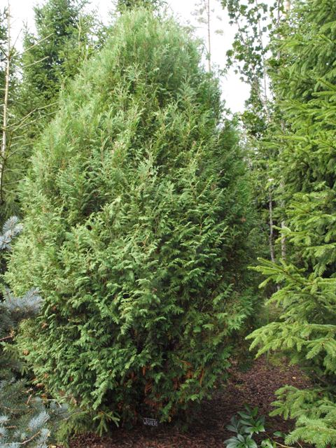 Thuja occidentalis 'Wagneri'