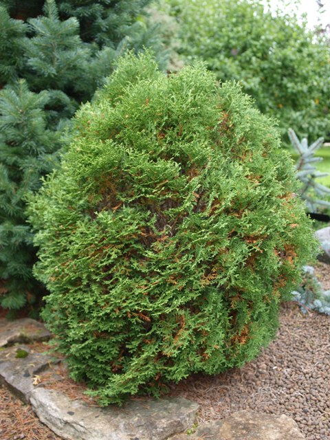 Thuja occidentalis 'Waterfield'
