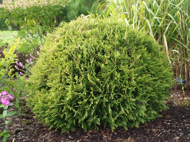 Thuja plicata 'Little Boy®'