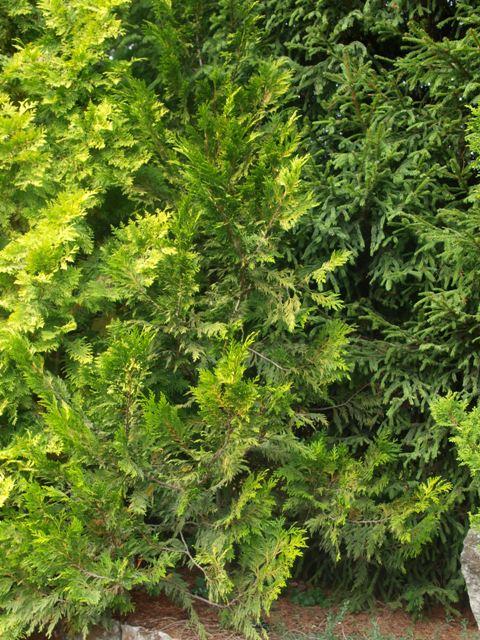 Thuja plicata 'Stoneham Gold'