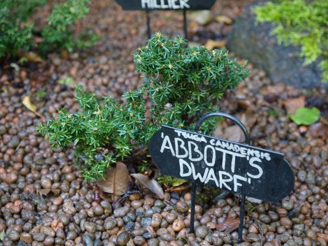 Tsuga canadensis 'Abbott's Dwarf'