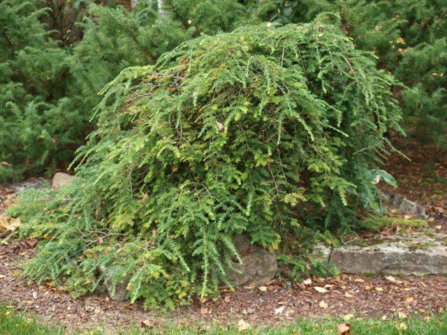 Tsuga canadensis 'Pendula'