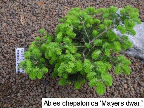 Abies cephalonica 'Meyer's Dwarf'