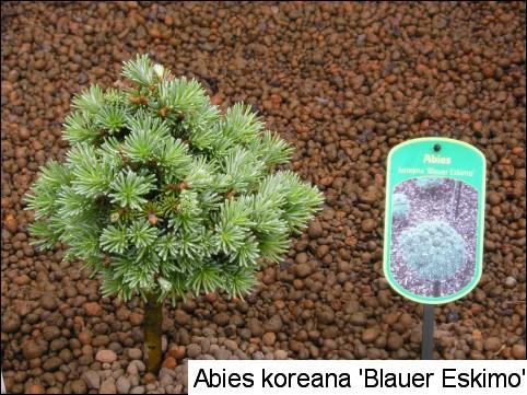 Abies koreana 'Blauer Eskimo'