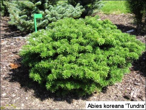 Abies koreana 'Tundra'